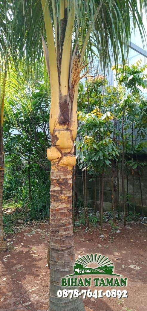 Jual Pohon Kelapa Gading Berbagai Ukuran yang Terpercaya
