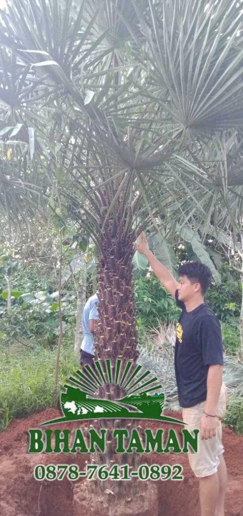 Harga Pohon Copernis Alba