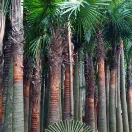 Harga Pohon palem Sadeng