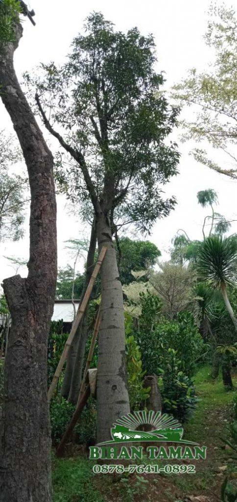 Harga pohon bottle tree