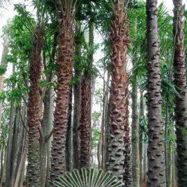 harga pohon palem australis