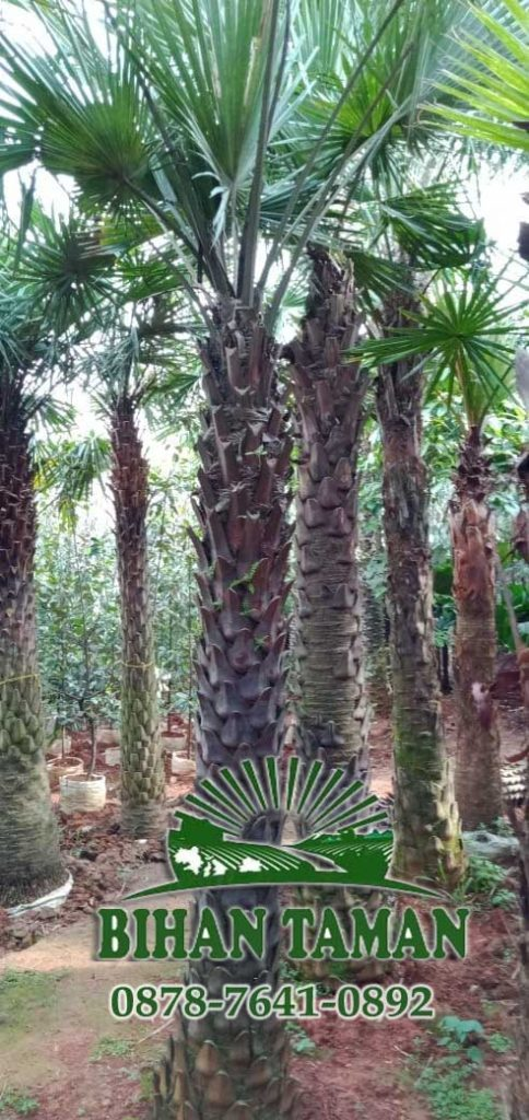 jual tanaman palem australis