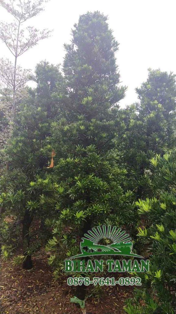 penjual pohon lohansung