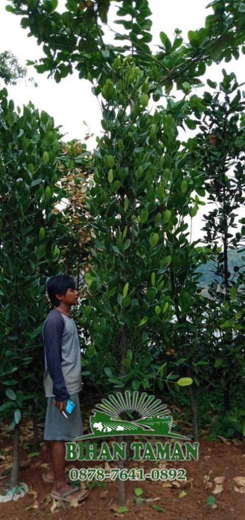 tanaman garcinia