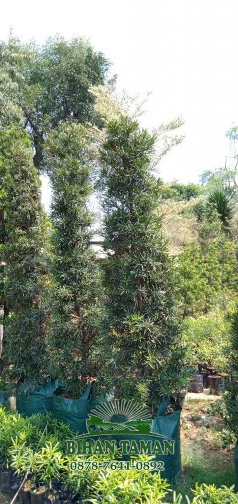 tukang pohon lohansung