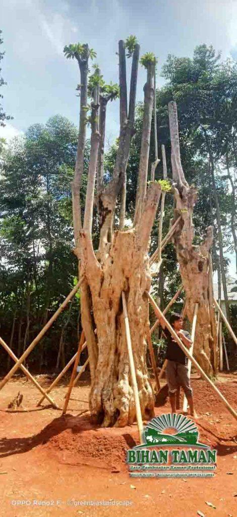 Harga Pohon Pule Fosil