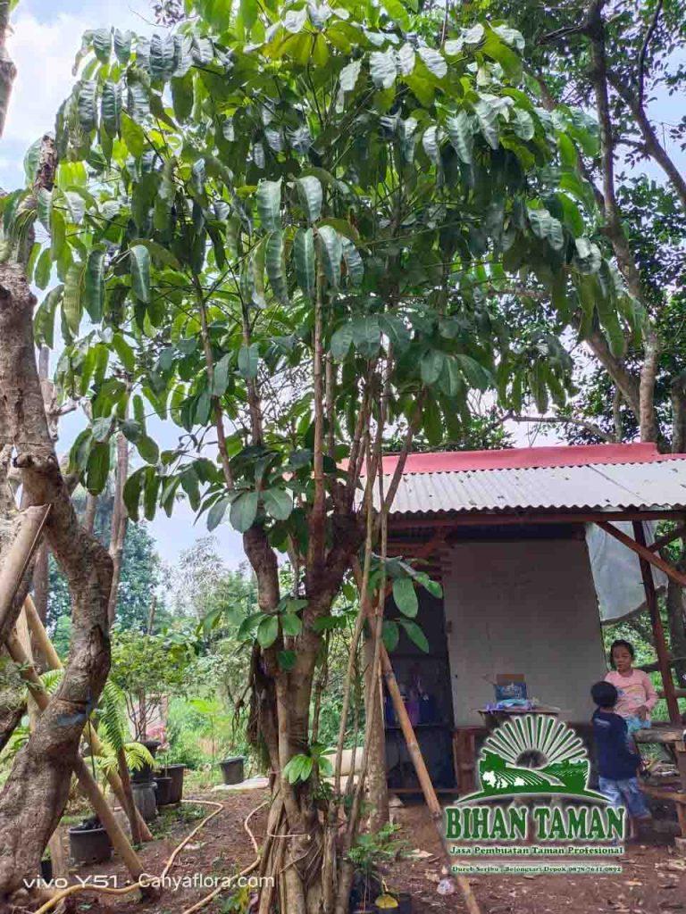 Harga Pohon Walisongo