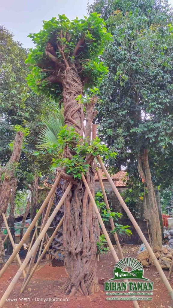 Jual Pohon Boddhi
