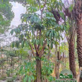 Jual Pohon Walisongo