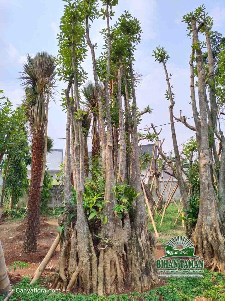Pohon Pule Air