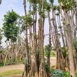 Pohon Pule Rawa
