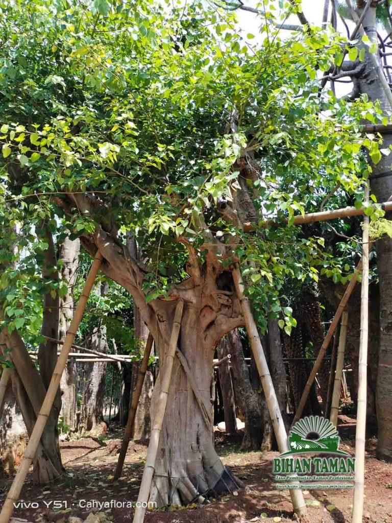 Tukang Pohon Bodhi