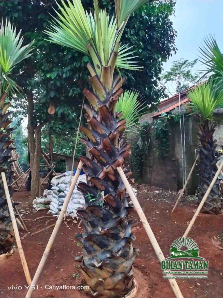 Tukang Pohon Palem Lontar