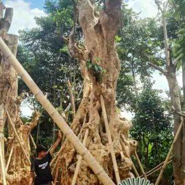 Tukang Pohon Pule Fosil